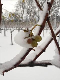 Druer i sneen