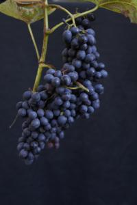 Cabernet Cantor-druer