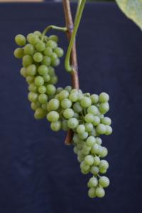 Muscaris-druer