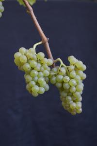 Phönix-druer